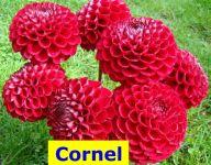 Corn-
